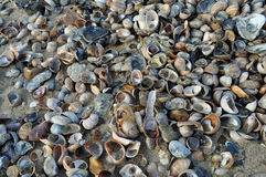 Pile of shells on beach. A large amount of shells on beach after recent stormy weather Stock Images