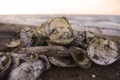 Pile of Shells. And the sand Royalty Free Stock Photo