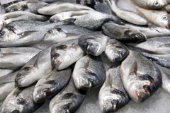 Pile of silver fish on ice Stock Photos