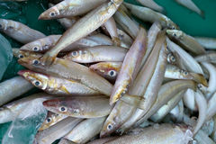 Pile of Silver sillago fish or Sillago maculata. Royalty Free Stock Image