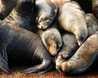 Pile of sleeping sea lions Royalty Free Stock Image