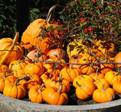 Pile of small cute pumpkins Stock Image