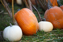 Pile of small pumpkins Stock Photo