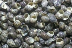Pile of Snail Shells, Ft. Myers, Florida Stock Photos