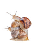 Pile of snails Royalty Free Stock Images