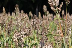 Sorghum or millet plants in the field. Pile of sorghum or millet plants in the field Royalty Free Stock Images