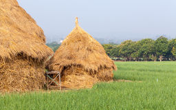 Pile of straw by product from rice field after collecting season Stock Photos