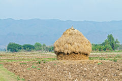 A pile of straw on rural paddy field Royalty Free Stock Photo