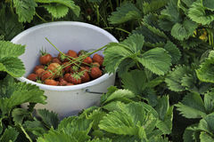 Bucket with strawberries amidst strawberry bed Royalty Free Stock Photography