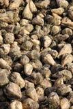 Pile of sugar beet Royalty Free Stock Photo