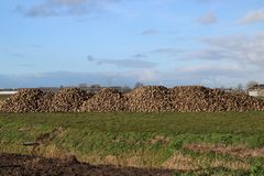 Pile of sugar beets drying in the autumn sun on farm in Moerkapelle in the Netherlands. Pile of sugar beets drying in the autumn sun on farm in Moerkapelle in royalty free stock photo