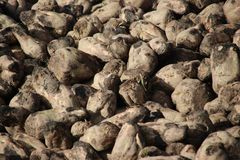 Pile of sugar beets drying in the autumn sun on farm in Moerkapelle in the Netherlands. Pile of sugar beets drying in the autumn sun on farm in Moerkapelle in royalty free stock photography