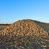 Pile of sugar beets Royalty Free Stock Photography