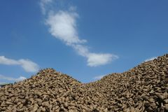 Pile of sugar beets on a farm Royalty Free Stock Photo