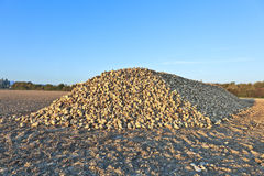 Pile of sugar beets Royalty Free Stock Images