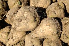 Pile of sugar beets Stock Photos