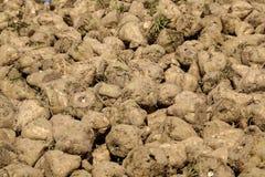 Pile of sugar beets Royalty Free Stock Image