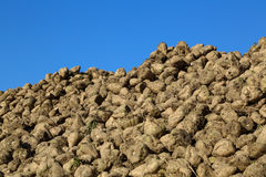 Pile of sugar beets Stock Photography
