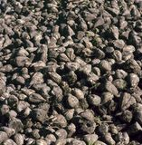 Pile of sugar beets Stock Images