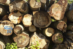 Pile of tree trunks Royalty Free Stock Image