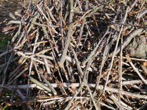 Pile of twigs. For bonfire or after cutting tree, close-up full frame image Royalty Free Stock Image