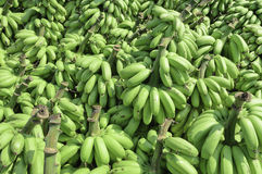 Pile of Unripe Banana called kluay khai Royalty Free Stock Images