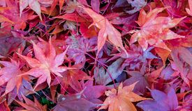 Close up photo of bright red japanese maple leaves in a pile on the ground. A pile of vibrant red Japanese Maple leaves scattered on the ground in autumn royalty free stock photography