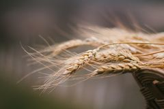 A pile of wheat in the brushwood basket flutter on the wind. A pile of wheat in the brushwood basket flutter on the wind; shallow depth of field; soft effect stock image