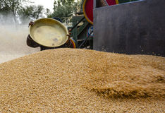 Pile of wheat & harvesting wheat Stock Images