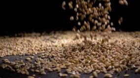 Pile of wholegrain of pearl barley or wheat that falls from above on black background. Agriculture closeup macro food