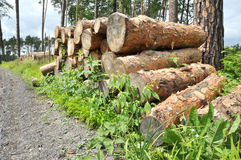 Pile of wood in a forest. Royalty Free Stock Photo