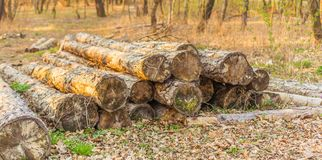 Pile of wood in the forest at sunset Stock Photo