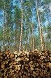 A pile of wood stacked in a pine forest Stock Photo