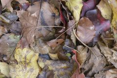 Pile of yellow and brown fall leaves. Pile of fall leaves starting to lose color Royalty Free Stock Photography