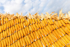 Pile of yellow corn cob Royalty Free Stock Image