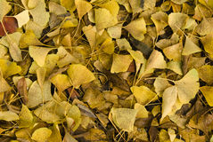 Pile of yellow gingko leaves Stock Photos