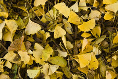 Pile of yellow ginkgo leaves Royalty Free Stock Image