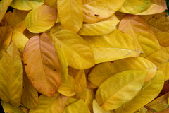 Pile of Yellow leaves abstract close up background Stock Photo