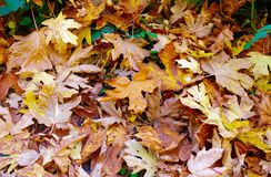 A Pile of Yellow and Red Fallen Autumn Leaves stock image