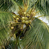 Pile of young coconuts on tree Stock Image