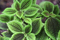 Pilea mollis Stock Photography