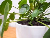 Pilea peperomioides of pannekoekinstallatie met een kleine plantlet stock foto's