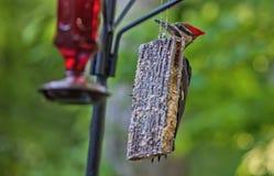 Pileated啄木鸟的饲养时间 图库摄影
