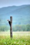 pileated啄木鸟 图库摄影