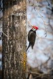Pileated啄木鸟(Dryocopus pileatus) 免版税图库摄影