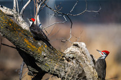 Pileated啄木鸟(Dryocopus pileatus) 免版税库存图片