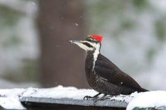 Pileated啄木鸟Dryocopus pileatus 与红色冠,一个哺养的平台的土地的大黑啄木鸟在森林地下雪 免版税库存图片