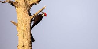 Pileated мужчиной pileatus Dryocopus птицы woodpecker Стоковое Фото