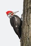 Pileated dzięcioł na Dębowym drzewie Obraz Stock