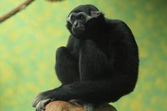 Pileated gibbon Stock Photos